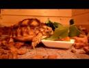 第28位:ケヅメリクガメ。ある日の沙原さん⑦ カメハウスに侵入者が!