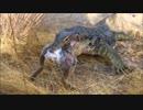 ウサギを丸呑みするミズオオトカゲ