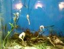 ユーモラスなタツノオトシゴ・・・・しながわ水族館