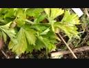 【家庭菜園】セロリ収穫動画