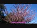 【ゆかり車載】春を先取り!桜を見に行ってきた【VTR250】