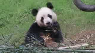 2017/11/02 熊猫楽園の紫金さん、シンシンの母 英英さん&弟 森森