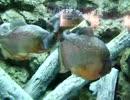 肉食の淡水魚 ピラニア*ナッテリー・・・・しながわ水族館