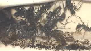 蟻戦争Ⅱ#5 まるでゴールドラッシュ?アリが100匹のゴキブリを乱獲!編