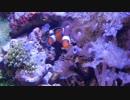 【アクアリウム】趣くままに水景動画Part3【海水水槽】