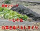 野鳥シリーズ 白菜を食べるヒヨドリ