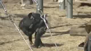 チンパンジー:遊びながら叱られるワンパクなフブキ君(多摩動物公園)