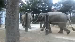 アジアゾウ:今日もお疲れ様でした!(上野動物園)