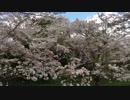 【ささら・つづみ】2度目の桜ですって【CeVIO】