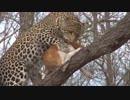 【閲覧注意】ジャガーに為す術もなく捕食される犬