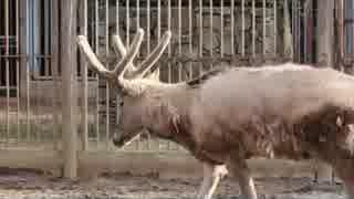 野生ではもういない、幻の動物:シフゾウ(多摩動物公園)