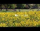 CM黄色い立川駅 菜の花
