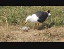 【捕食】ヒナ鳥をむさぼり食べるサギ