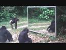 鏡対赤ちゃんチンパンジー