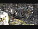 【多摩動物公園】ユキヒョウ親子やコアラ
