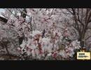 【長野一周前】高遠の桜を見に行ってみた【成功祈願】 thumbnail