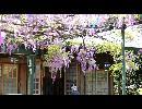 CM閑静な布田駅(634.rer圏外) 国領神社の藤棚