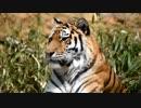 【多摩動物公園】ユキヒョウやアムールトラやオランウータン