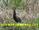 野鳥シリーズ キジも鳴かずば撮られまい・・・・鮎川河川敷
