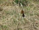 野鳥シリーズ ガビチョウの鳴き声・・・・鮎川川畔