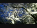 展勝地の夜桜