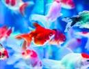 【オリジナル】泡沫金魚(Pf小品)