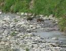 野生の生き物たち 朝の散歩をするタヌキの夫婦・・・・鮎川河川敷