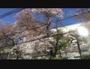 桜散ってた><