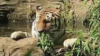アムールトラのシズカちゃんの水風呂タイム(多摩動物公園)