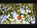 Fruit Hanging On A Branch @ 臼井弘文
