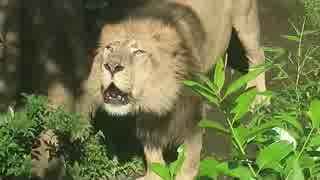 アジアの王者!インドライオン(上野動物園)