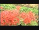 野を赤に染めるヒガンバナ@佐藤想一郎