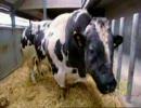 ガチムチ牛、スーパーカウの精子採取 thumbnail