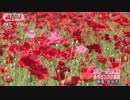 可愛いポピー満開 赤やピンクの花が一面に 群馬