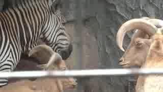 シマウマ対バーバリーシープ(上野動物園)