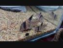 【コリドラス】コリドラス・パンクを眺める動画【水槽】