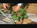 【カレハン畑】万能薬草のゴトコラを植えるよ!(20170524放送)