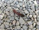 野生の生き物たち 近づくと死んだふりするツマグロヒョウモン
