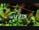 南米淡水フグ【70cm水槽#6】