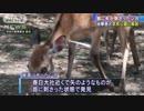 """シカの首に""""矢"""" 治療終わり奈良公園に14日朝解放"""