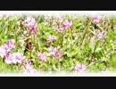 第71位:【NNI】桜平#106:蓮華草は薄紫に【f00005j】【MuseScore】 thumbnail