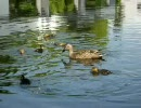Wild Ducks ~カルガモの親子~
