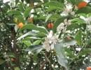 昆虫シリーズ 金柑の花の蜜を吸うミツバチ