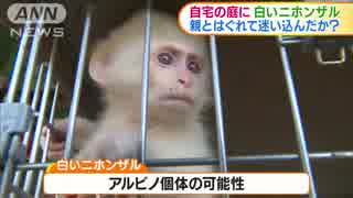 珍しい野生の白いニホンザル 一時的に保護される 岐阜県下呂市