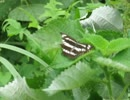 昆虫シリーズ 翅を開いてとまるコミスジ