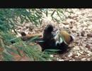 かわいすぎるレッサーパンダの動きに萌える動画