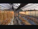 第20位:きゅうり栽培実況vol.46   ビニールを剥がす。