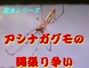 昆虫シリーズ アシナガグモの縄張り争い