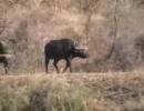 ライオンvs水牛vsクロコダイル