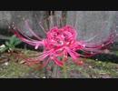 【初音ミク】Red Spider Lily【オリジナル】